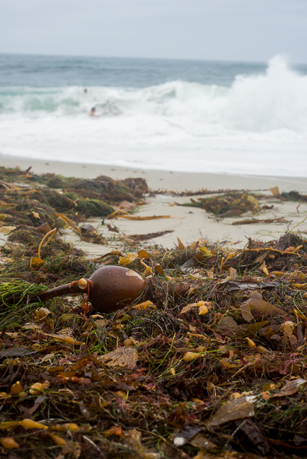 This seaweed is fully washed up from the last high tide. We prefer to take directly from tidepools to assure freshness.