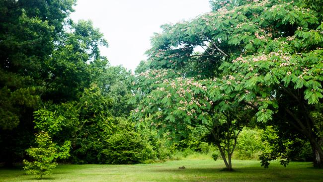 albizia-julibrissin-mimosa-tree-persian-pink-silk-ryanbenoitphoto-thehorticult-RMB_4066
