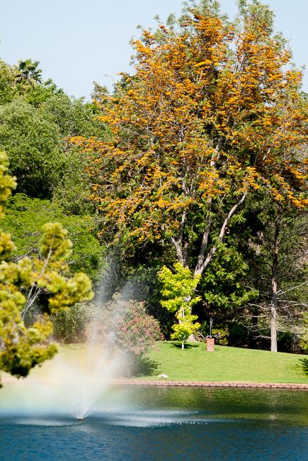 grevillea-robusta-silky-oak-australian-silver-oak-grand-tradition-gardens-ryanbenoitphoto-thehorticult-_RMB0434
