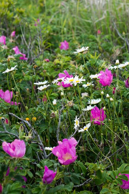 rosa-rugosa-japanese-rose-ramanas-ryanbenoitphoto-thehorticult-RMB_4226
