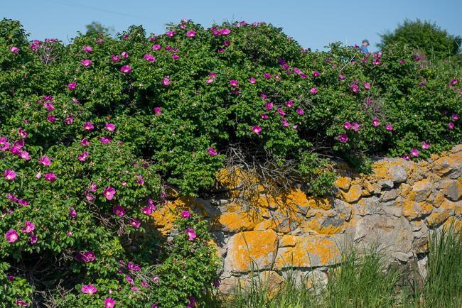 rosa-rugosa-japanese-rose-ramanas-ryanbenoitphoto-thehorticult-RMB_4694