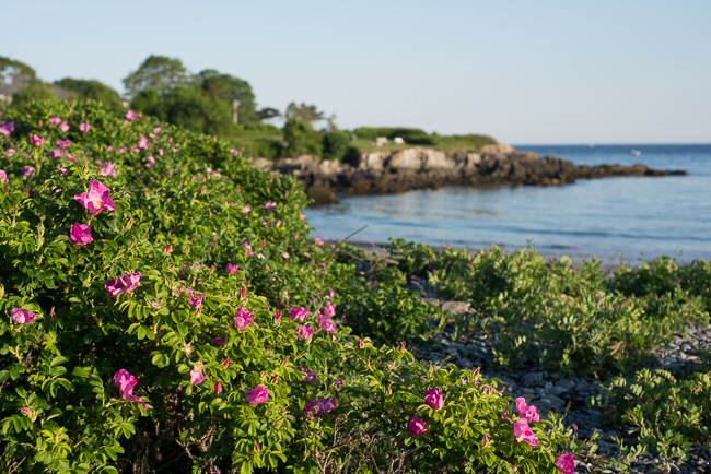 rosa-rugosa-japanese-rose-ramanas-ryanbenoitphoto-thehorticult-RMB_4720