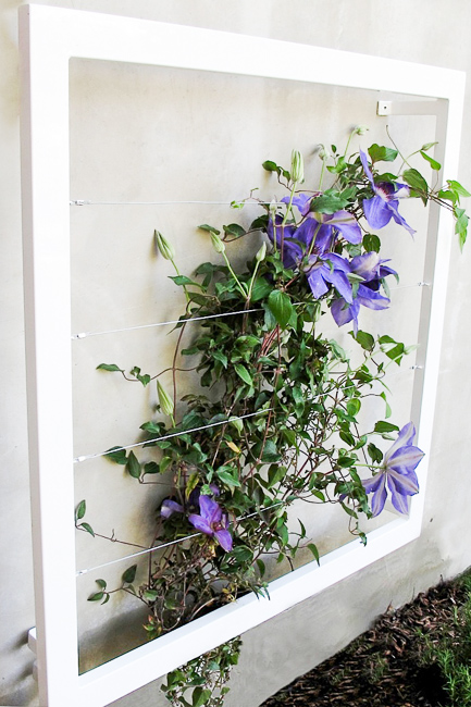 Ina Wall Trellis, growing Clematis