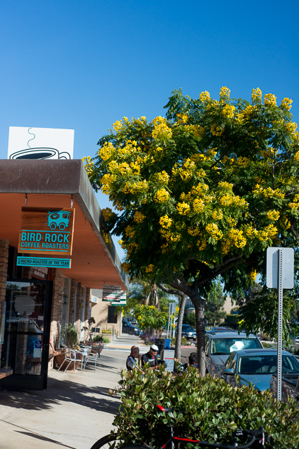 cassia-leptophylla-gold-medallion-tree-ryanbenoitphoto-thehorticult-RMB_5763