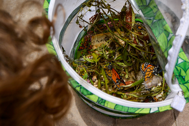 Raising monarch butterflies indoors