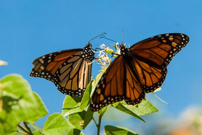 monarch-butterflies-ryanbenoitphoto-thehorticult-DSC_0277