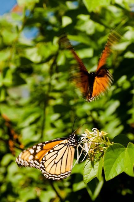 monarch-butterflies-ryanbenoitphoto-thehorticult-DSC_0293