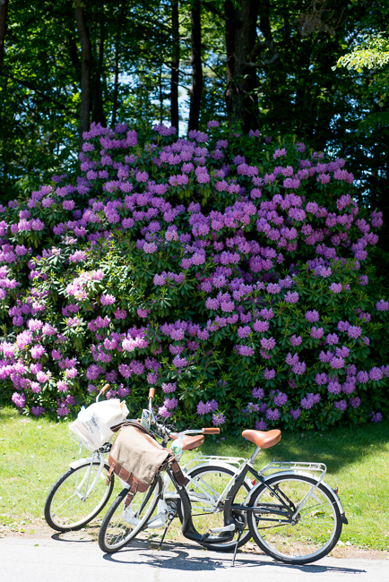 rhododendron in Maine