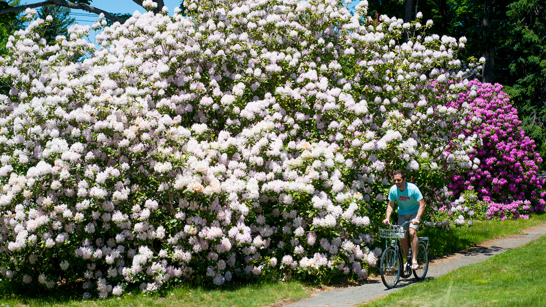 Rhododendron in Kennebunk Beach, Maine