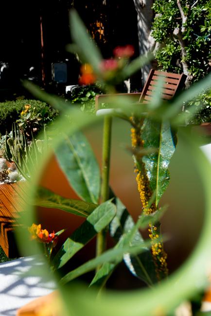 Aphid milkweed