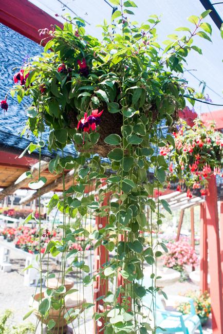 'Voodoo' fuchsia planted with vinca major.