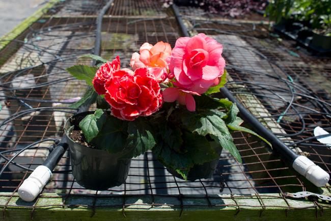 Tuberous begonias at Weidner's Gardens.