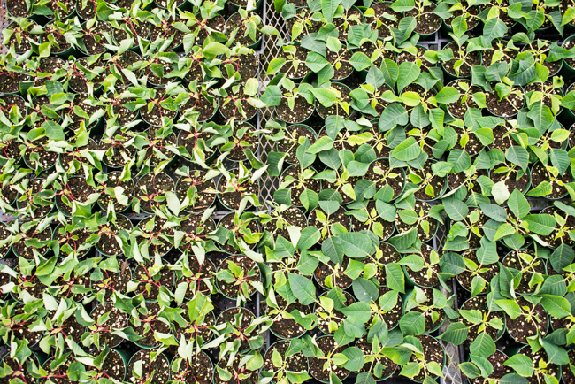 Cuttings of 'Beauty Pink' poinsettia