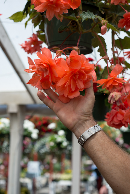 At Weidner's, a beautiful apricot tuberous begonia.