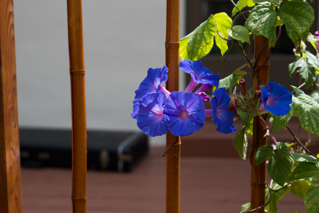 yoga-yard-morning-glory-ryanbenoitphoto-thehorticutl-RMB_6190