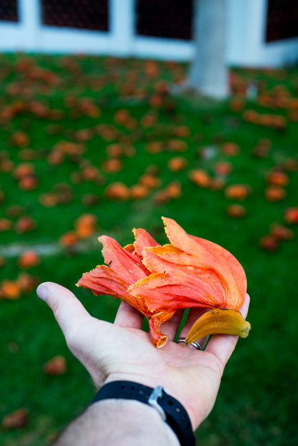 African-Tulip-Tree-Spathodea-campanulata-ryanbenoitphoto-thehorticult-RMB_8076