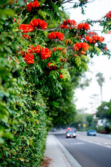 African-Tulip-Tree-Spathodea-campanulata-ryanbenoitphoto-thehorticult-RMB_8090