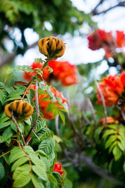 African-Tulip-Tree-Spathodea-campanulata-ryanbenoitphoto-thehorticult-RMB_8091