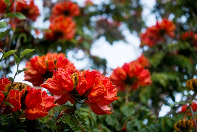 African-Tulip-Tree-Spathodea-campanulata-ryanbenoitphoto-thehorticult-RMB_8095