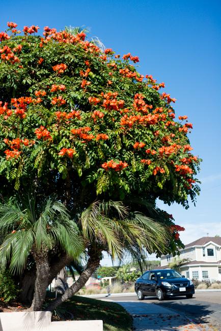 African-Tulip-Tree-Spathodea-campanulata-ryanbenoitphoto-thehorticult-RMB_8104