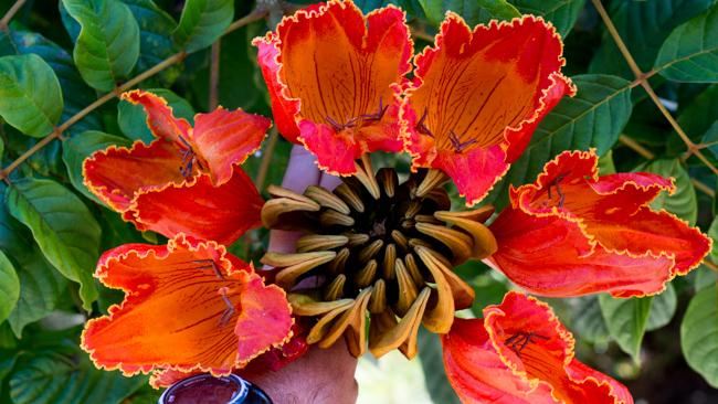 African-Tulip-Tree-Spathodea-campanulata-ryanbenoitphoto-thehorticult-RMB_8117