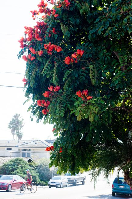 African-Tulip-Tree-Spathodea-campanulata-ryanbenoitphoto-thehorticult-RMB_8118