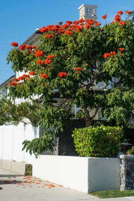 African-Tulip-Tree-Spathodea-campanulata-ryanbenoitphoto-thehorticult-RMB_8121