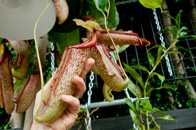 September 2011 Nepenthes ventricosa