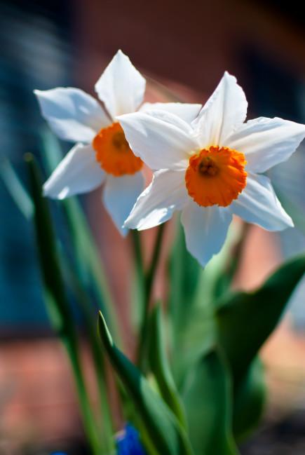 Einstein-daffodil