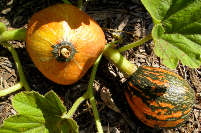 Gardenerd-featured-on-The-Horticult-New Lakota squash