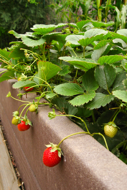 Gardenerd-featured-on-The-Horticult-Strawberries