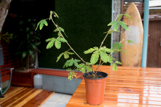 Mimosa-pudica-thehorticult-ryanbenoitphoto-RMB_8798