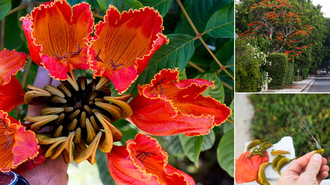 Bloom Alert The African Tulip Tree Brings Tropical Heat To
