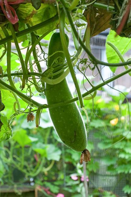 Berkeley-Community-Garden-John McLachlan_Hairy Melon-featured-on-thehorticult