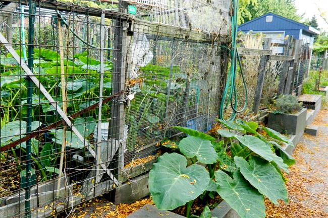 Berkeley-Community-Garden-Sarah Hutt_fall crop-featured-on-thehorticult
