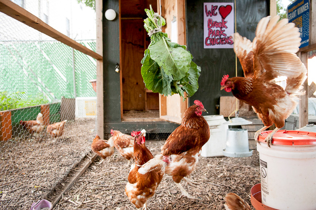 Brook Park Chickens, Bronx Chicks
