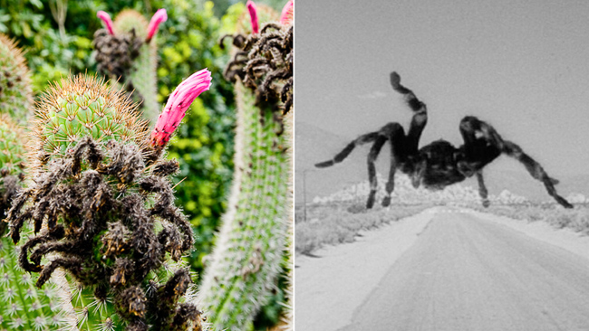 Cleistocactus-tarantula-scary-plants-thehorticult