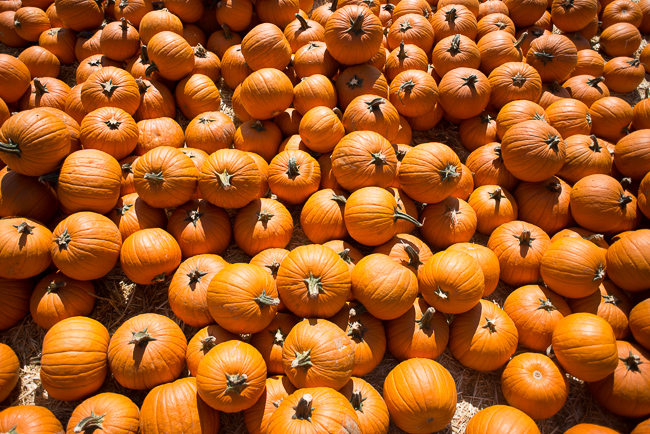 Cucurbita-pepo-Bates-Nut-Farm-ryanbenoitphoto-thehorticult-RMB_0871