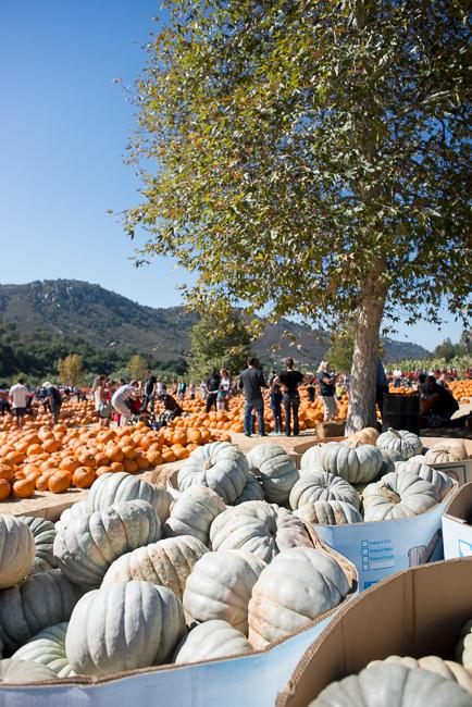 Jarrahdale-pumpkins-Bates-Nut-Farm-ryanbenoitphoto-thehorticult-RMB_0740