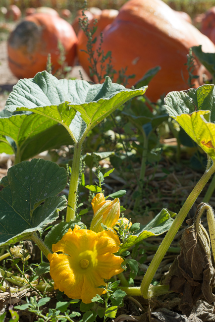 Pumpkin-squash-blossom-Bates-Nut-Farm-ryanbenoitphoto-thehorticult-RMB_0729