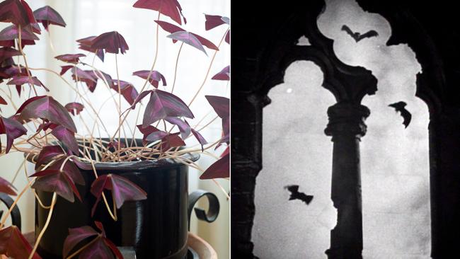 false-shamrock-dracula-scary-plants-thehorticult