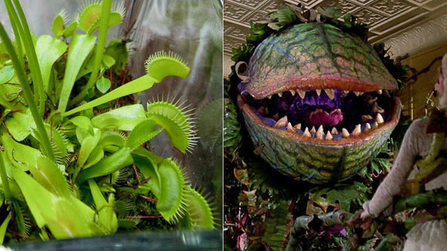 flytrap-little-shop-of-horrors-scary-plants-thehorticult