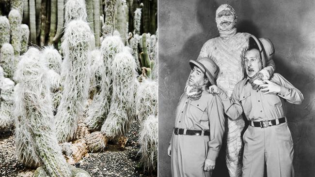 mummy-old-man-cactus