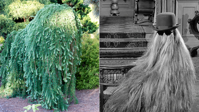 weeping-conifer-cousin-it-Adams-family-thehorticult