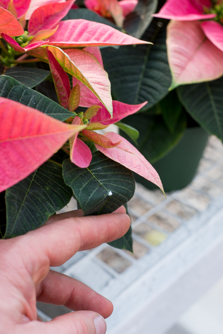 Bleed-poinsettias-Weidners-ryanbenoitphoto-thehorticult-RMB_2586