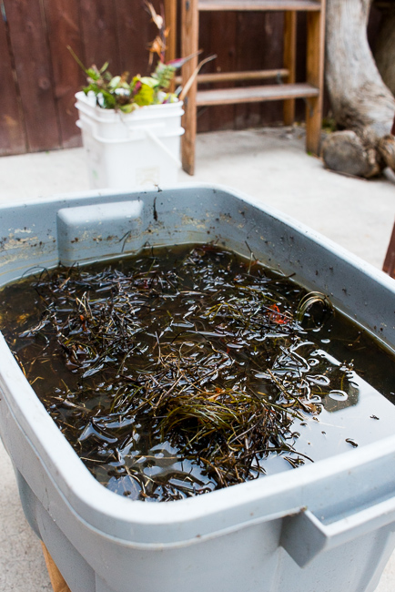 DIY-Seaweed-Liquid-Fertilizer-Part-2-Dilution-and Application-ryanbenoitphoto-thehorticult-RMB_2198