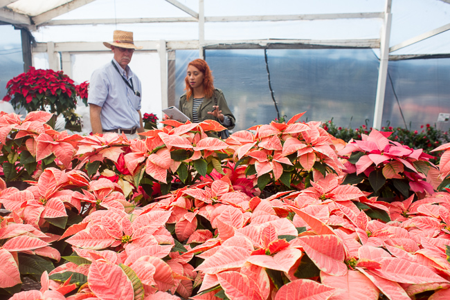 Marble-Star-poinsettias-Weidners-ryanbenoitphoto-thehorticult-RMB_2556