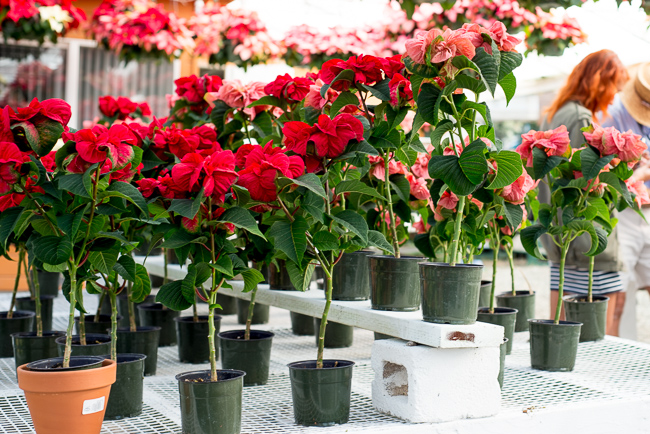 Minitrees-poinsettias-Weidners-ryanbenoitphoto-thehorticult-RMB_2565