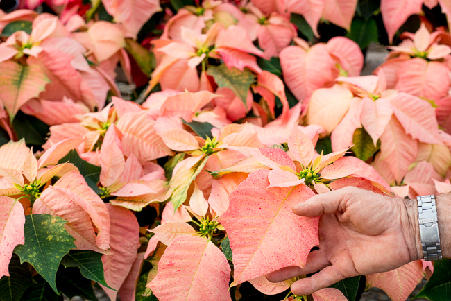 Monet-poinsettias-Weidners-ryanbenoitphoto-thehorticult-RMB_2529