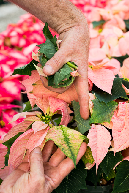 Monet-poinsettias-Weidners-ryanbenoitphoto-thehorticult-RMB_2532